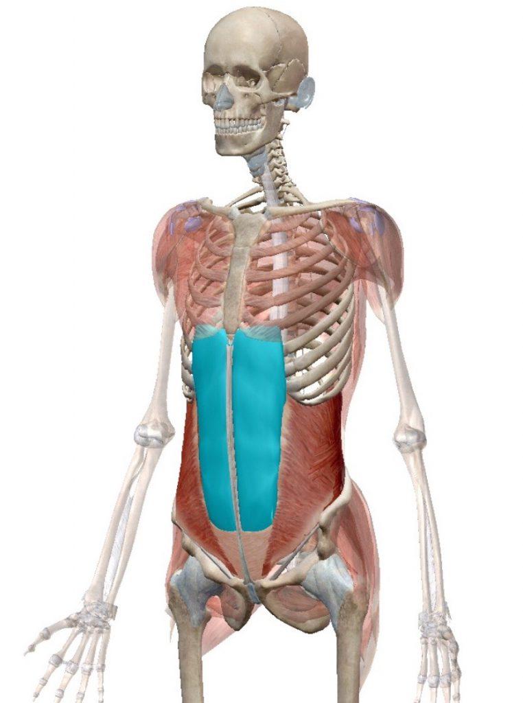 腹筋,筋肉図