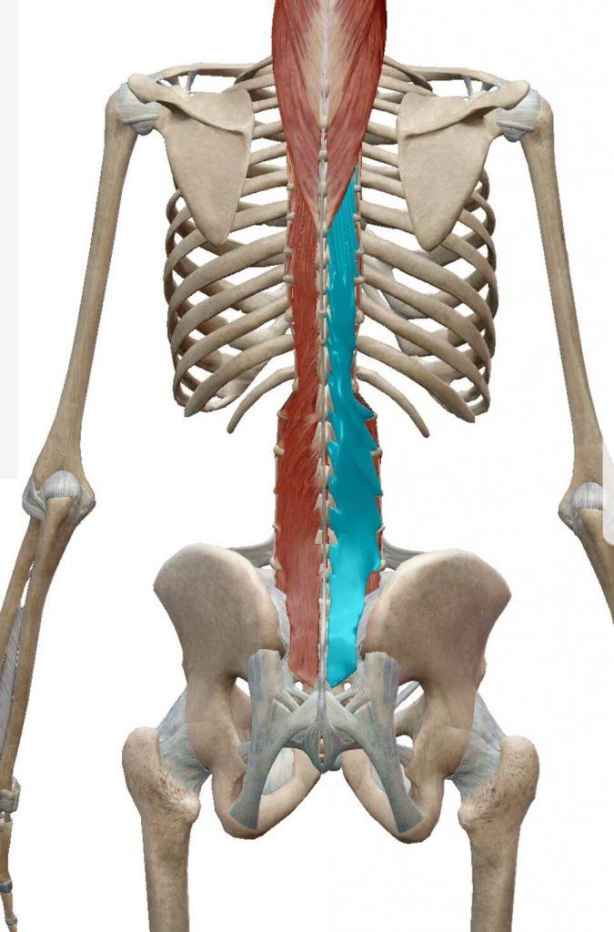 背中,筋肉,多裂筋