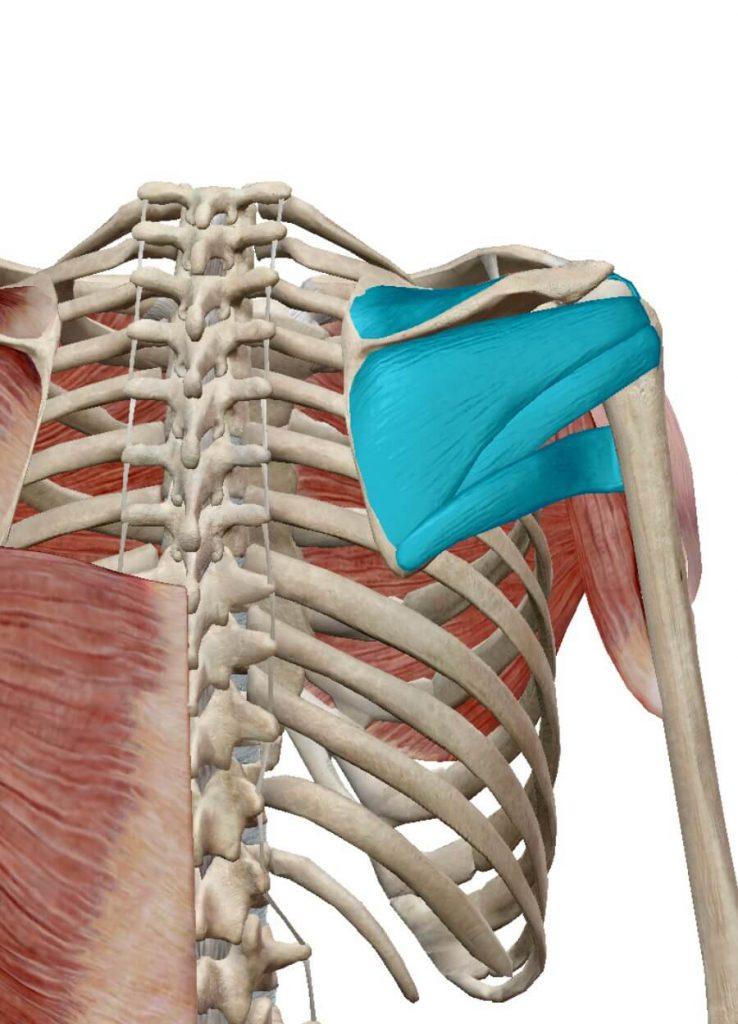 インナーマッスル,肩,ローテーターカフ