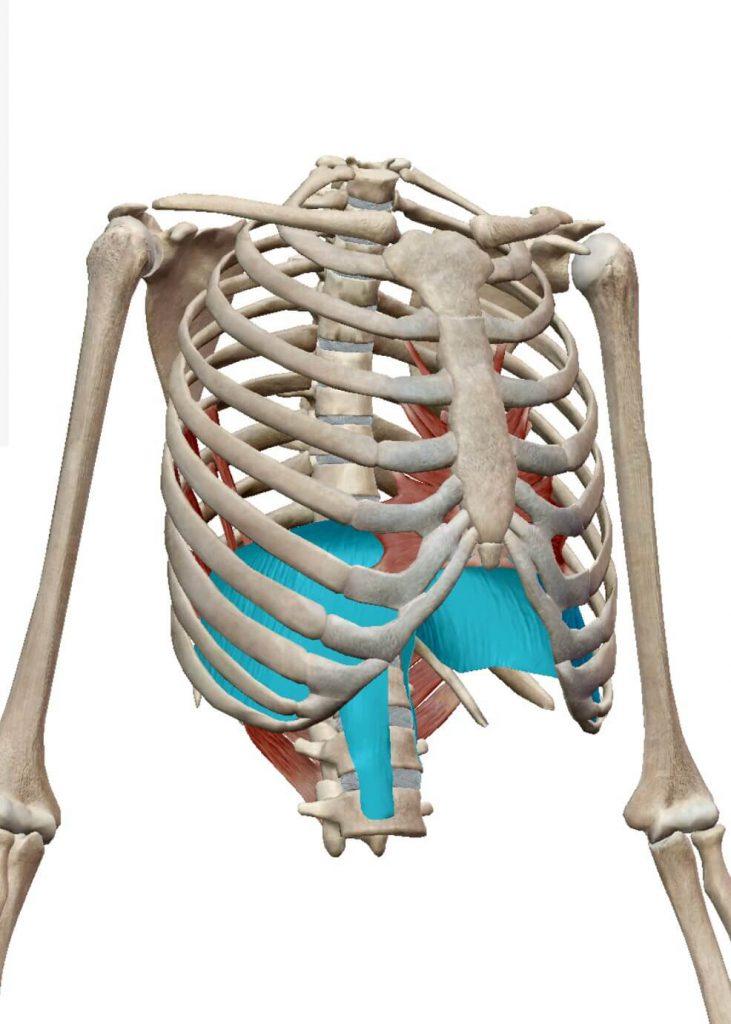 インナーマッスル,横隔膜