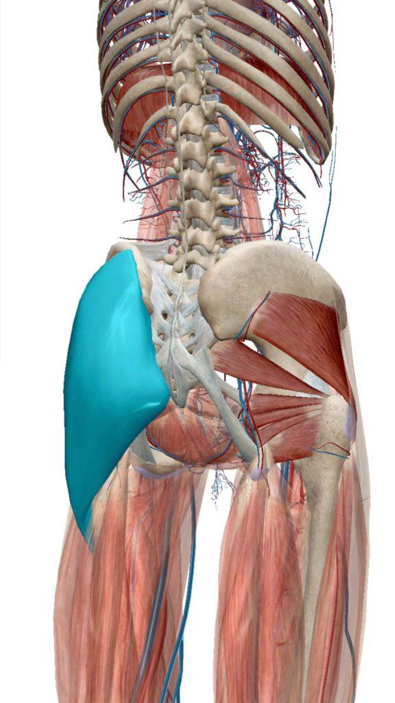 臀部,筋肉イメージ