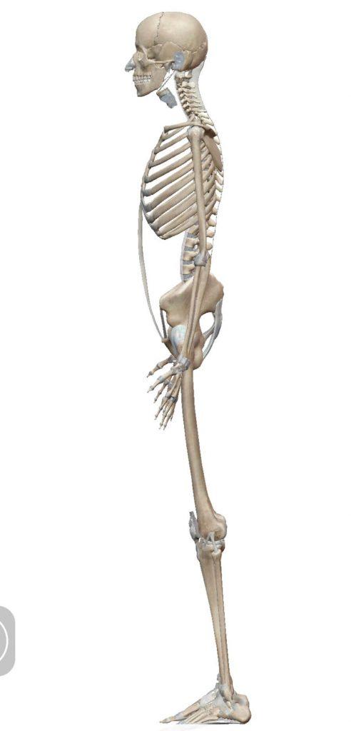 全身の骨模型