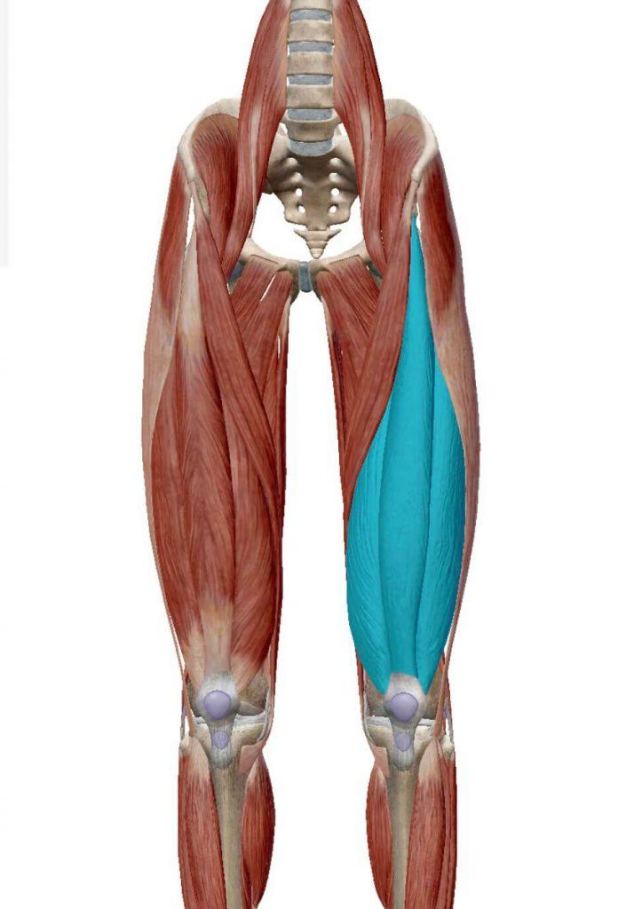 大腿四頭筋の筋肉図