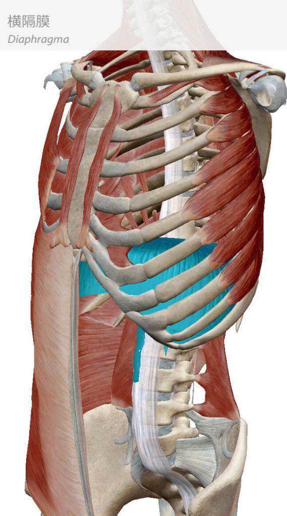 横隔膜,インナーマッスル,体幹