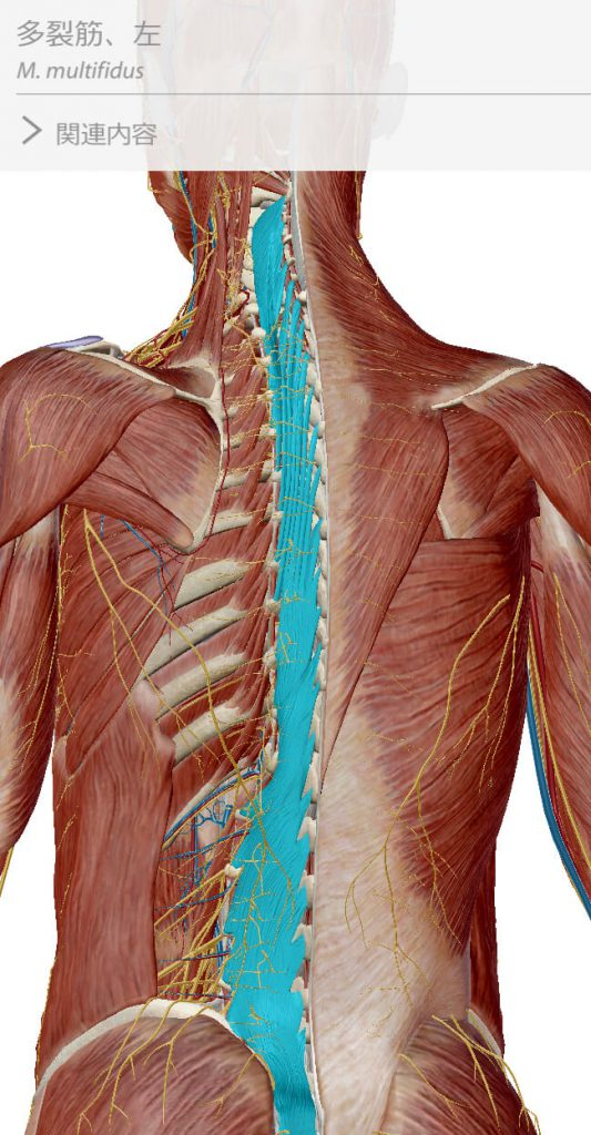 多裂筋,インナーマッスル,  体幹