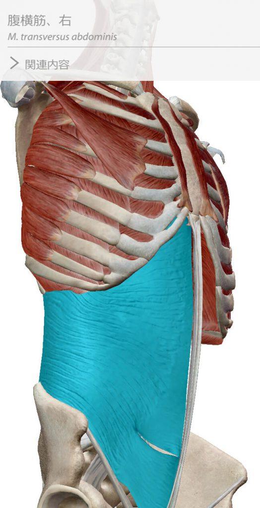 体幹,インナーマッスル,腹横筋