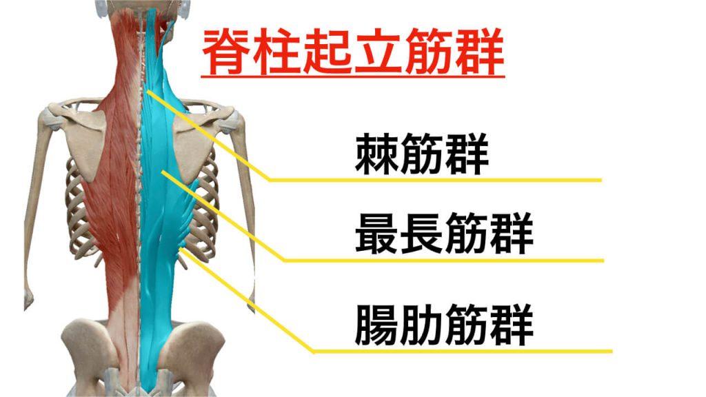 誰もが知っている背骨の最たる筋肉『脊柱起立筋群』