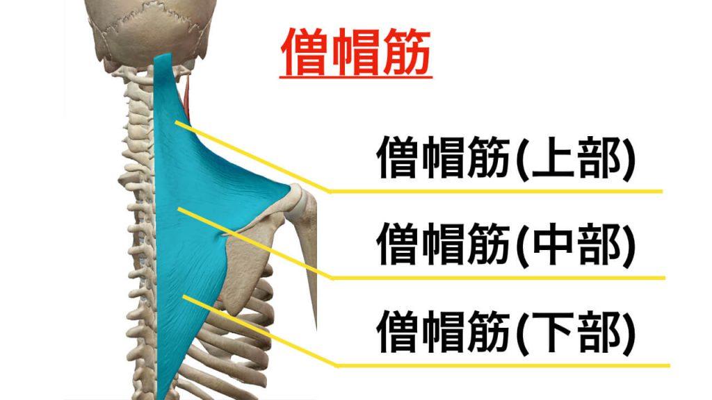 肩甲骨を動かすときに大切な役割をする僧帽筋